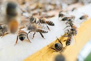 waarom-is-honing-niet-vegan