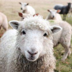 'Een schaap moet je toch scheren?' Dit is waarom ik geen wol draag