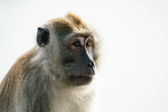 dierproeven aap